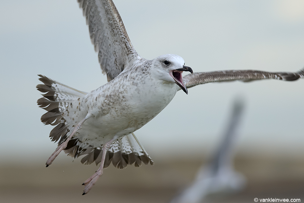 Another good way of identifying Caspian Gulls is by its call. Katwijk aan Zee, The Netherlands, 23 November 2013.
