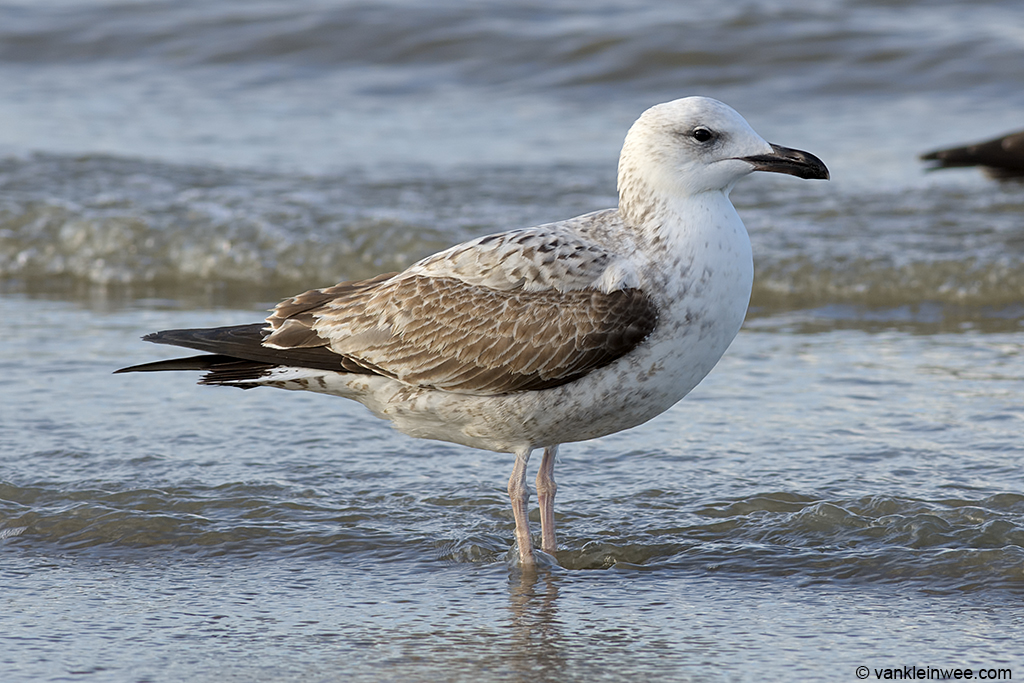 The posture has a hint of Herring Gull about it? Katwijk aan Zee, The Netherlands, 23 November 2013.