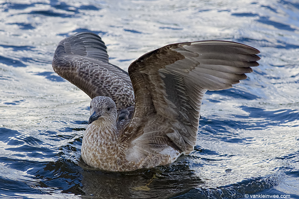 First-calendar year Lesser Black-backed Gull in full juvenile plumage. Leiden, The Netherlands, 3 November 2013.