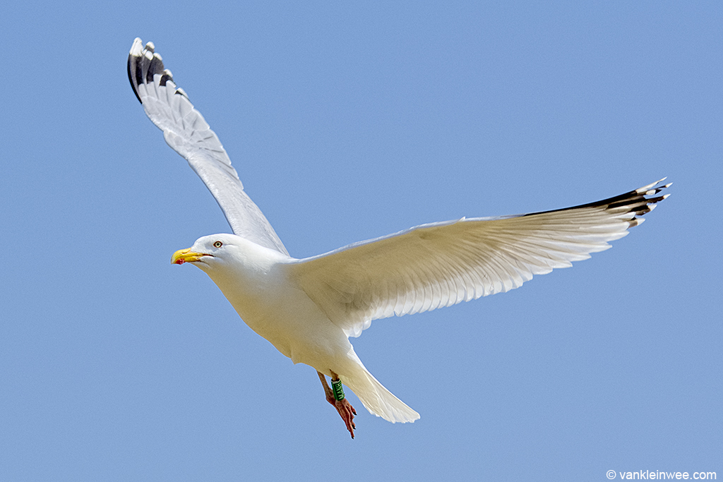 The attacker: male European Herring Gull ringed as Green M.ANH. Texel, The Netherlands 3 May 2013.