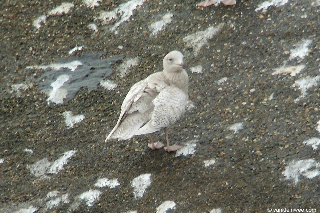 First-calendar year Iceland Gull, Katwijk aan Zee, The Netherlands, 8 December 2013.