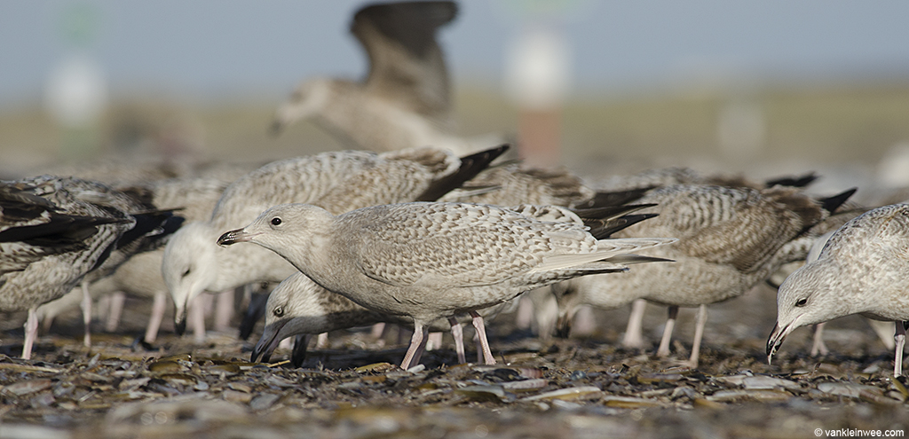 First-calendar year Iceland Gull feeding on ensis. IJmuiden beach, The Netherlands, 29 December 2013.