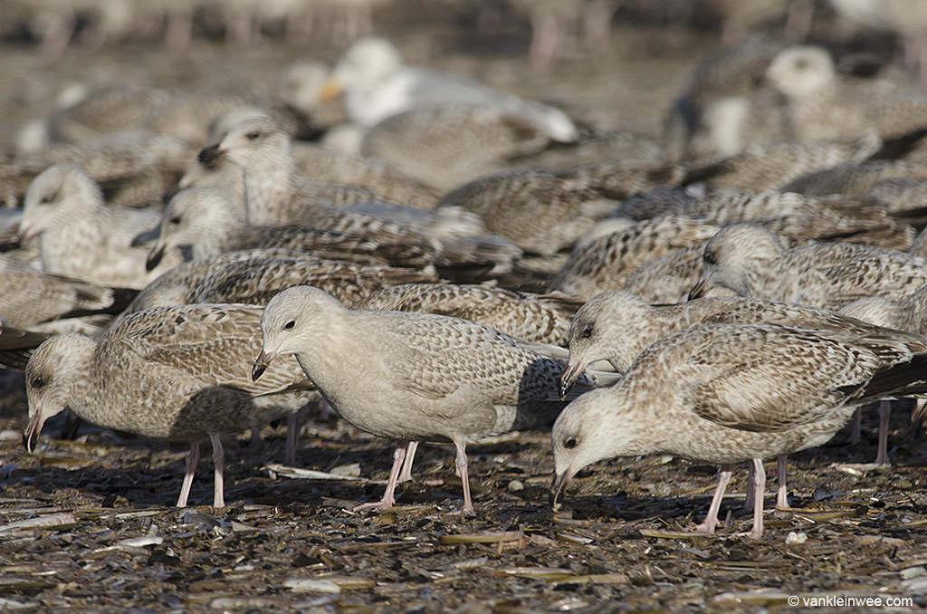 For the untrained eye-, a first-calendar year Iceland Gull (center, front) can be easily missed among similar looking first-calendar year European Herring Gulls. IJmuiden beach, The Netherlands, 29 December 2013.
