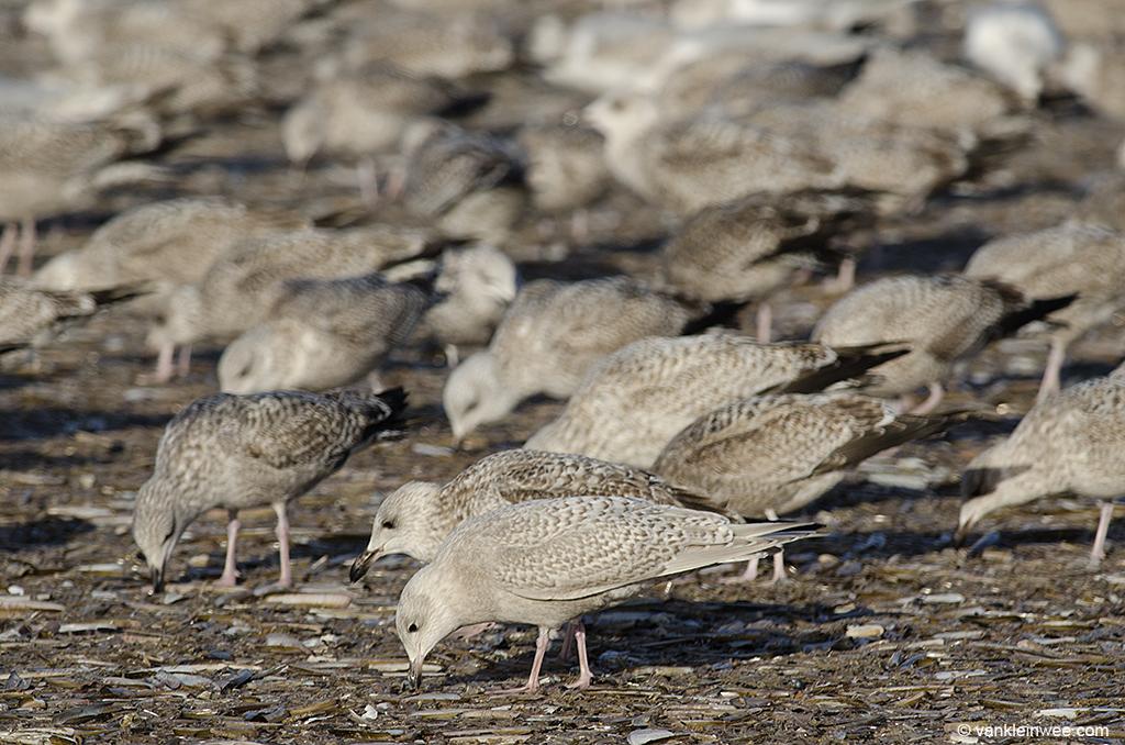 First-calendar year Iceland Gull (center, front) with first-calendar year European Herring Gulls in the back. IJmuiden beach, The Netherlands, 29 December 2013.