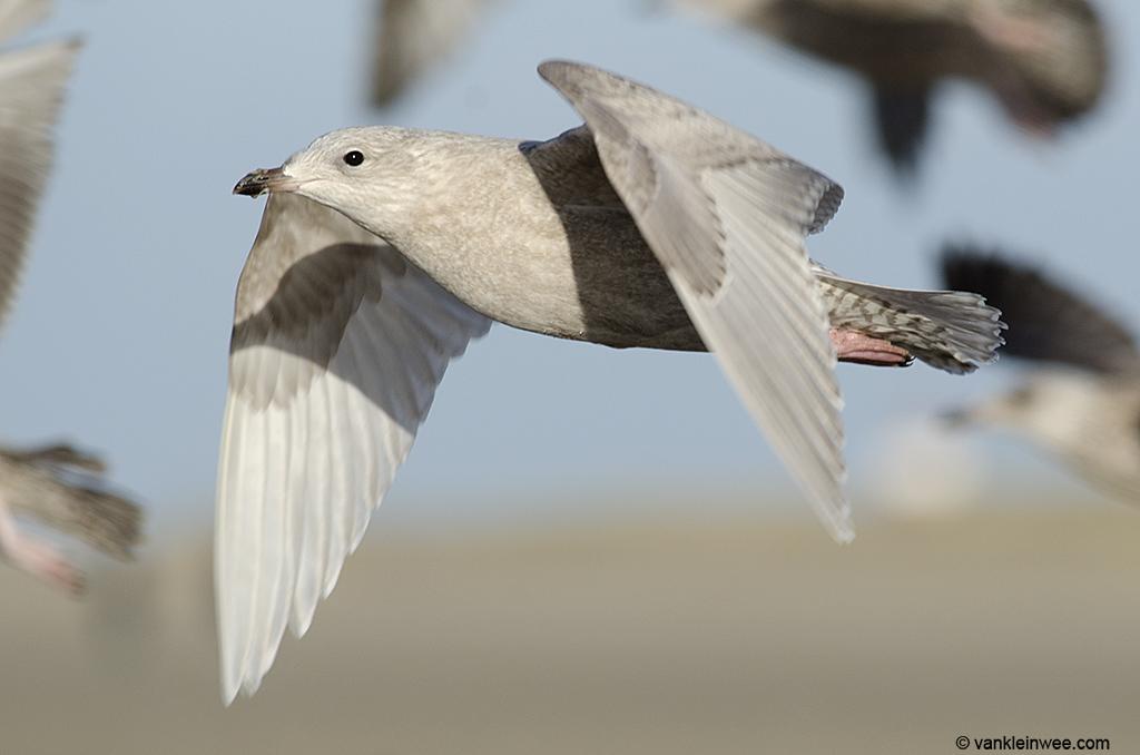 First-calendar year Iceland Gull. IJmuiden beach, The Netherlands, 29 December 2013.