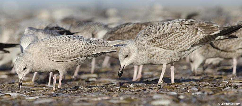 First-calendar year Iceland Gull (left) with  first-calendar year European Herring Gull (right). IJmuiden beach, The Netherlands, 29 December 2013.