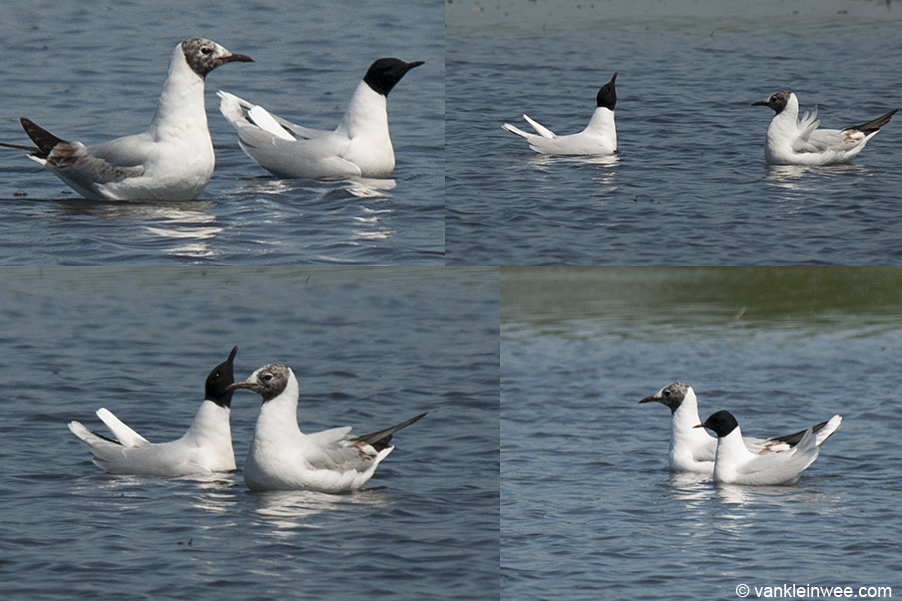 Adult Little Gull interacting with a 2nd-calendar year Black-headed Gull, Oegstgeest, The Netherlands, 30 May 2009.