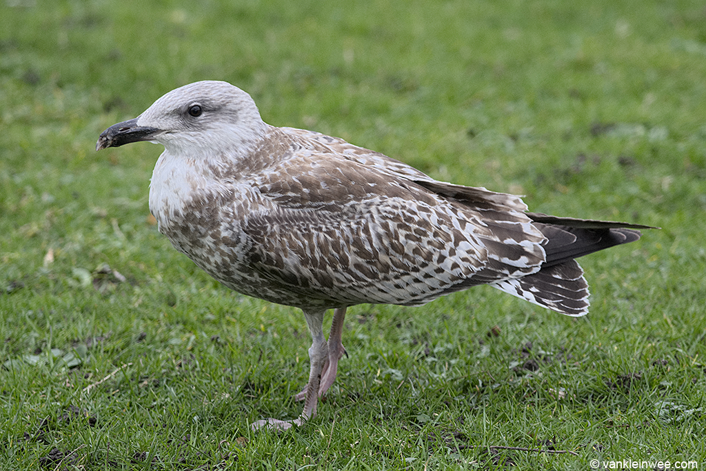 Leiden, 28 January 2014. The strong posture, the predominantly juvenile plumage with only a few scapulars replaced (mainly on the right side), and the lack of wear in the tertials and wing coverts all point to this being a Scandinavian Herring Gull.