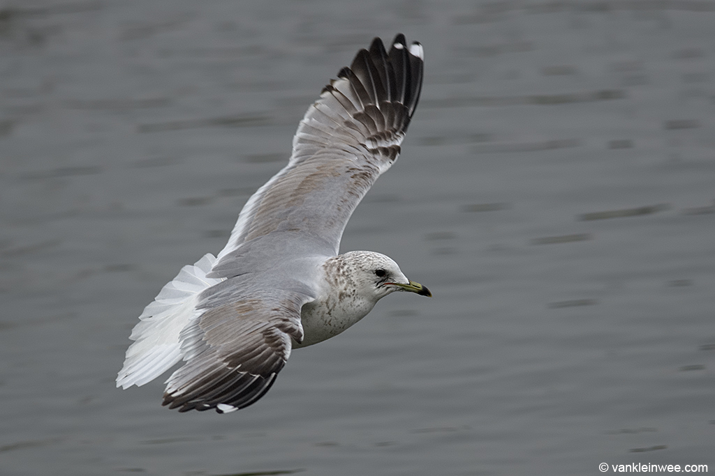 Thord-calendar year Common Gull. Leiden, The Netherlands, 30 January 2014.
