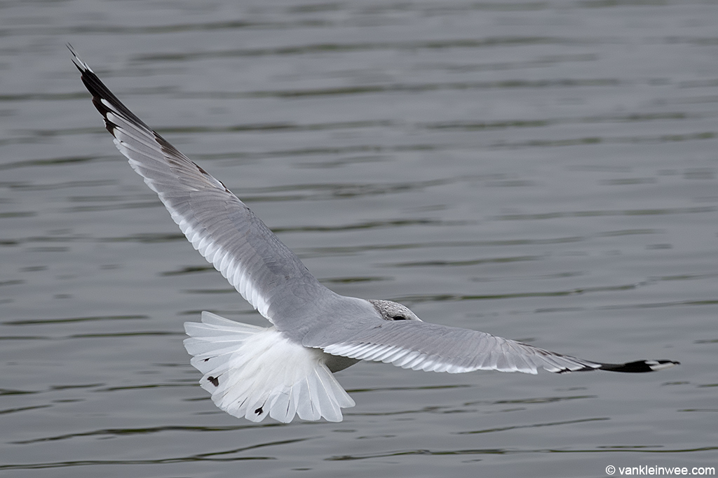 Thrd-calendar year Common Gull. Leiden, The Netherlands, 30 January 2014.
