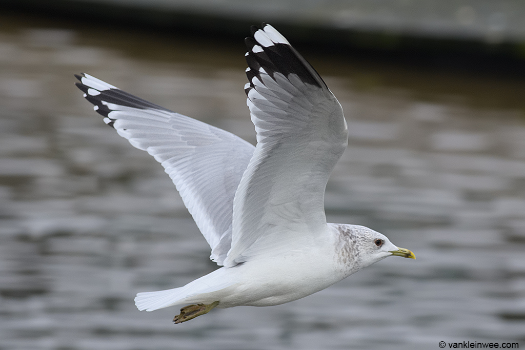 Adult Common Gull. Leiden, The Netherlands, 30 January 2014.