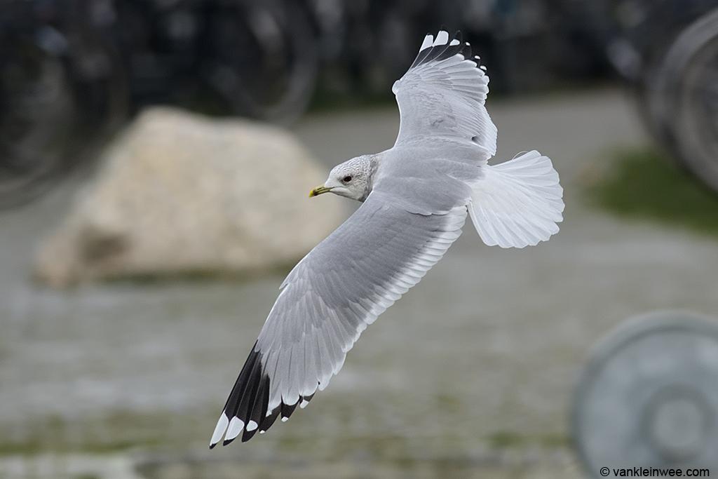 Adult Common Gull. Leiden, The Netherlands, 30 January 2014.