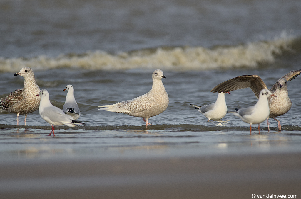 Second-calendar year Iceland Gull with 1st-winter Herring Gulls (full left and full right) and Black-headed Gulls.  Katwijk aan Zee, The Netherlands, 18 January 2014.