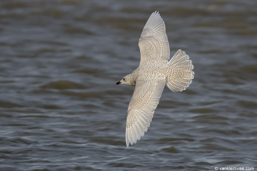 Second-calendar year Iceland Gull. Katwijk aan Zee, The Netherlands, 18 January 2014.