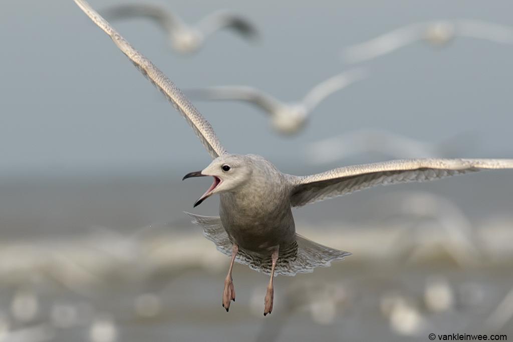 Second-calendar year Iceland Gull. Katwijk aan Zee, The Netherlands, 18 January 2014.