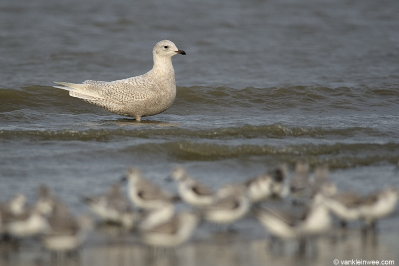 Second-calendar year Iceland Gull with Sanderlings. Katwijk aan Zee, The Netherlands, 18 January 2014.