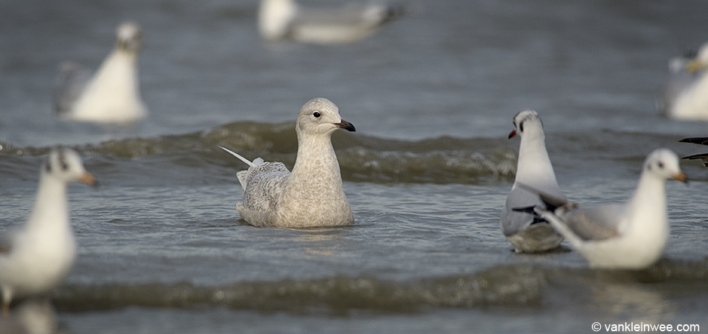 Second-calendar year Iceland Gull with Black-headed Gulls. Katwijk aan Zee, The Netherlands, 18 January 2014.