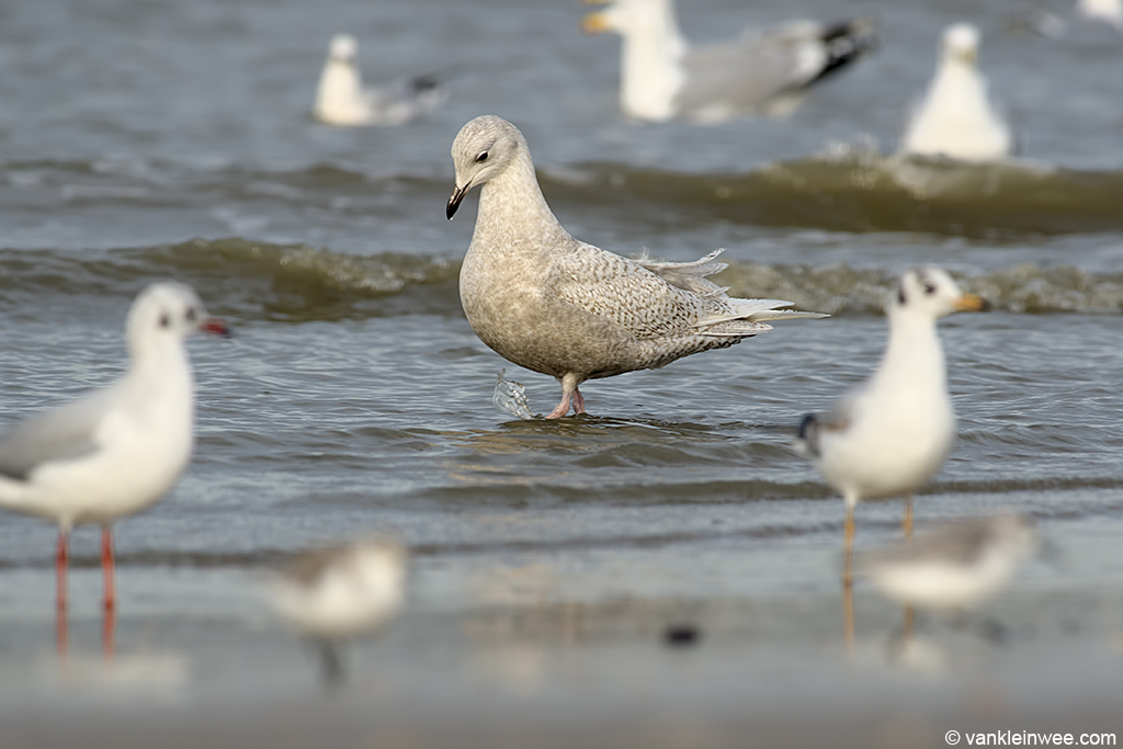 Second-calendar year Iceland Gull with Black-headed Gull, Sanderlings and Herring Gulls. Katwijk aan Zee, The Netherlands, 18 January 2014.
