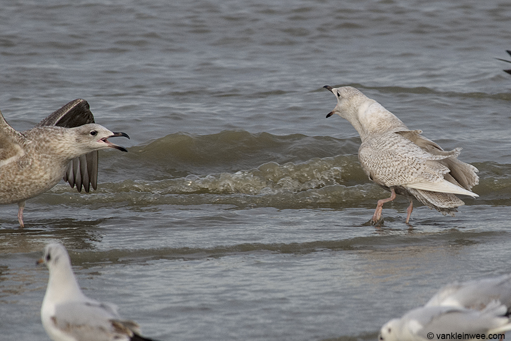 Second-calendar year Iceland Gull, long-calling. Katwijk aan Zee, The Netherlands, 18 January 2014.