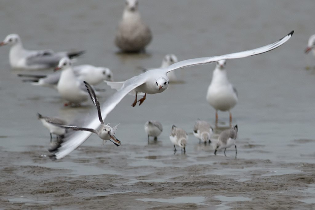 An adult Black-headed Gull chasing a Sanderling. Katwijk aan Zee, The Netherlands, 19 January 2014.
