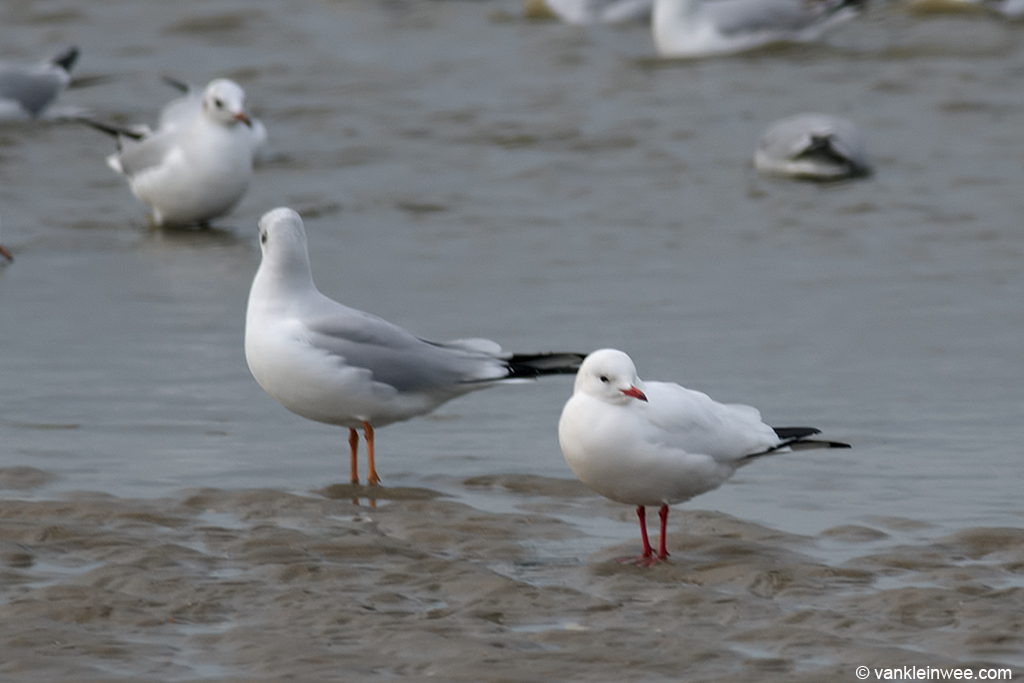 Leucistic Black-headed Gull (right) with adult Black-headed Gull in standard plumage (left). Katwijk aan Zee, The Netherlands, 19 January 2014.