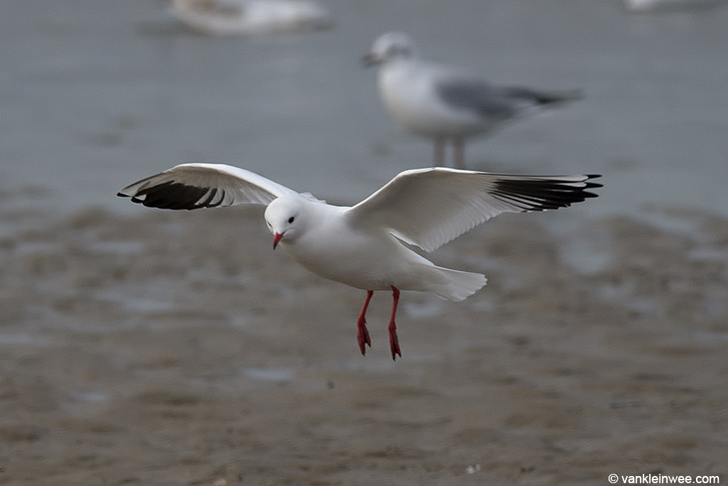 Leucistic Black-headed Gull. Katwijk aan Zee, The Netherlands, 19 January 2014.