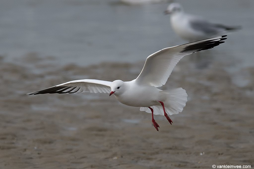 Leucistic Black-headed Gull. Katwijk aan Zee, The Netherlands, 19 January 2014.
