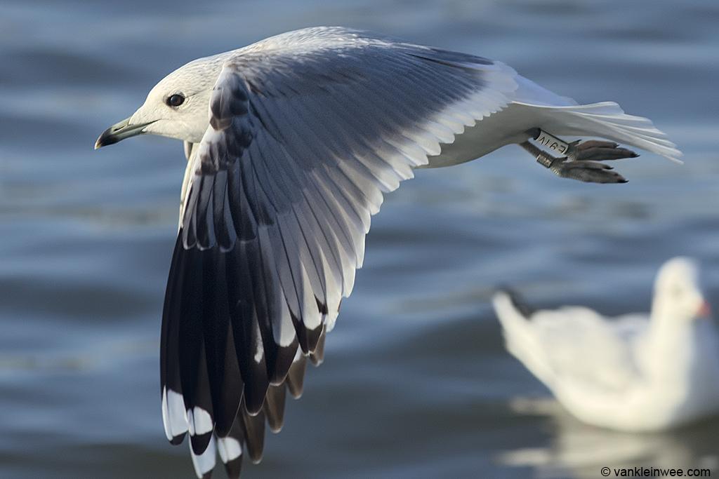 Third-calendar year Common Gull, ringed as White E91V. Utrecht, The Netherlands, 12 January 2014.