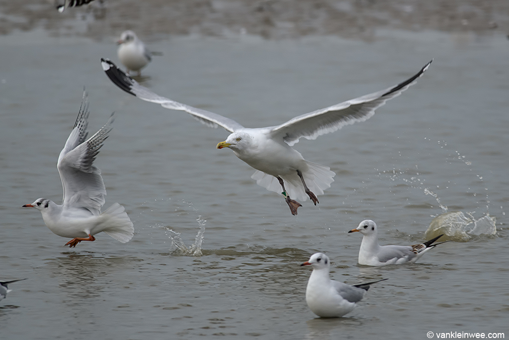 27-year old Herring Gull (Black D)/Green A. Katwijk aan Zee, The Netherlands, 19 January 2014.