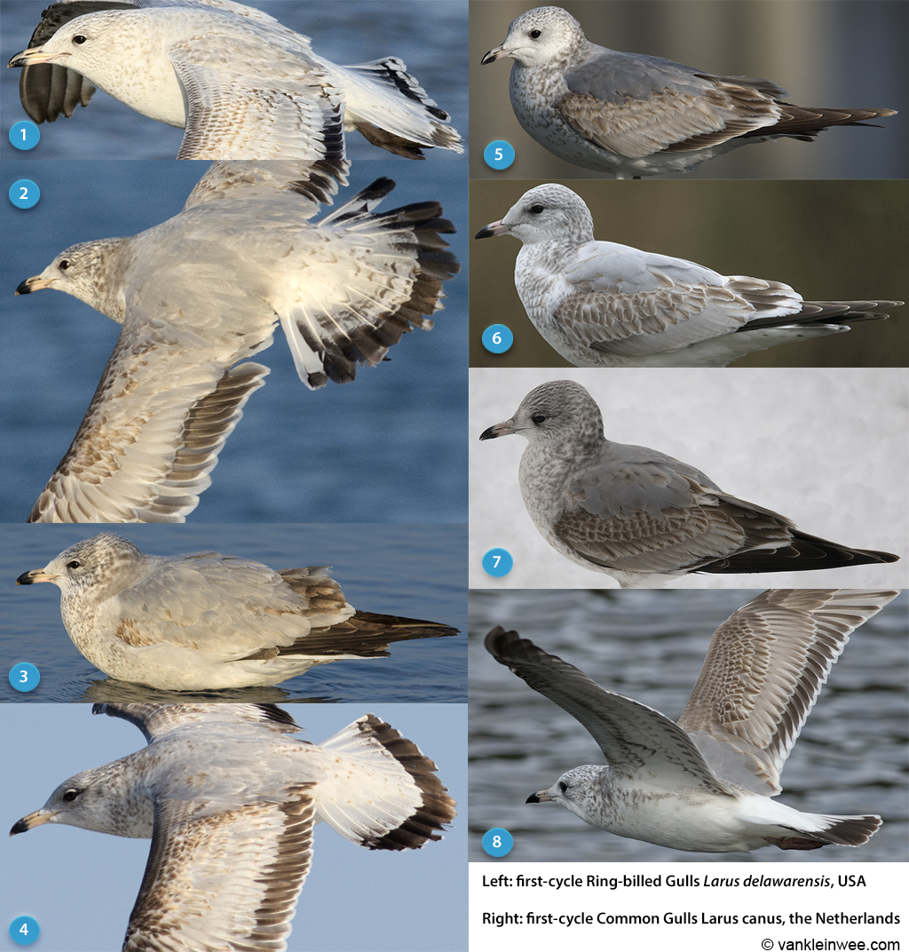 Greater coverts comparison.