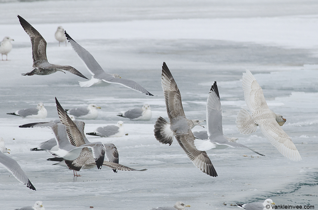 15 February 2014, Winthrop Harbor, Illinois, USA. Being chased by American Herring Gulls of various ages.