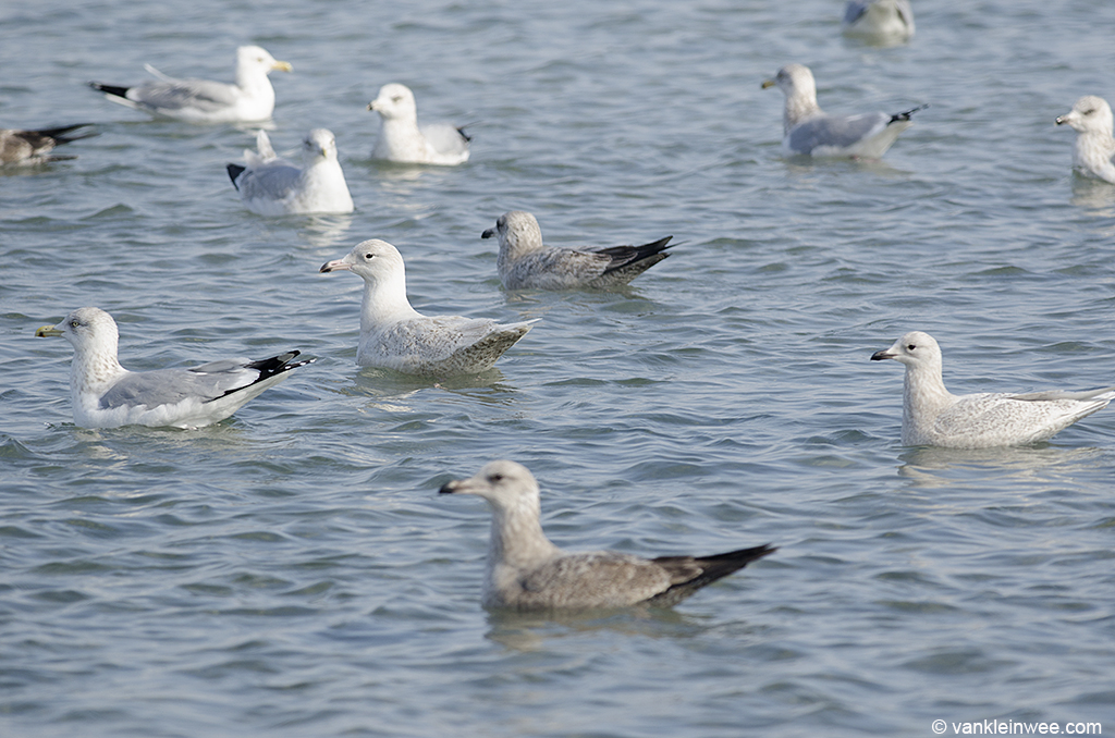 16 February 2014, BP Whiting refinery, Indiana, USA. With second-calendar year Kumlien's Iceland Gull (right center) and American Herring Gulls.