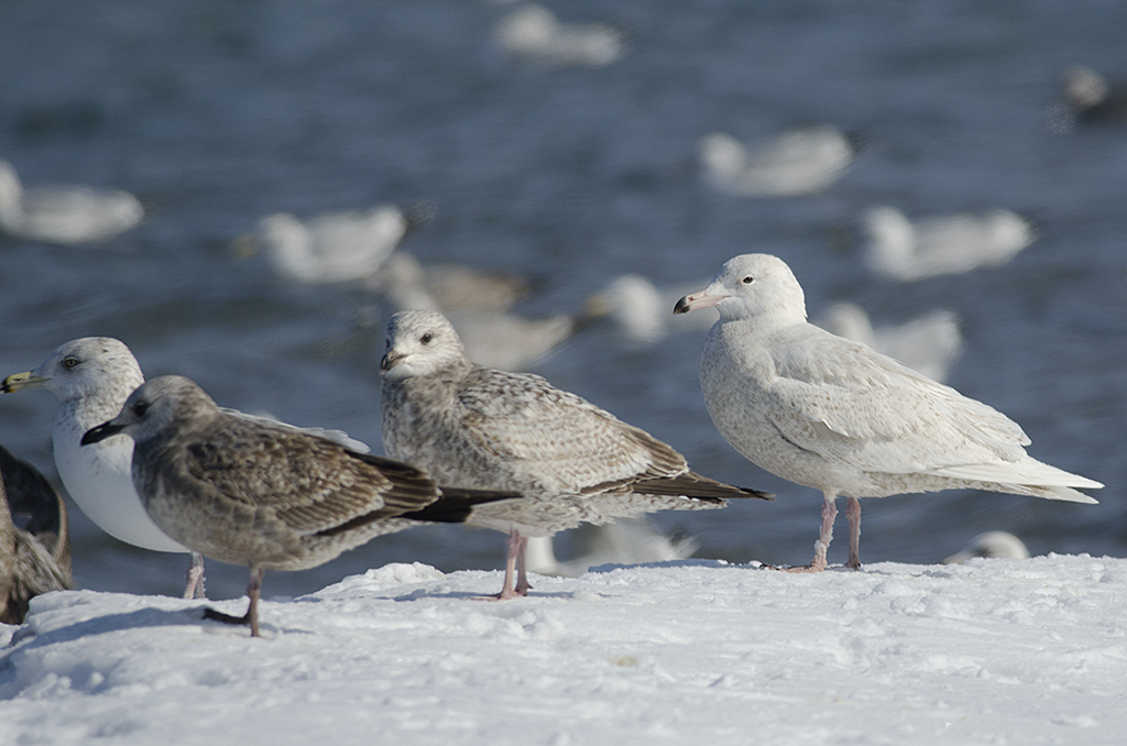 16 February 2014, BP Whiting refinery, Indiana, USA. With American Herring Gulls.