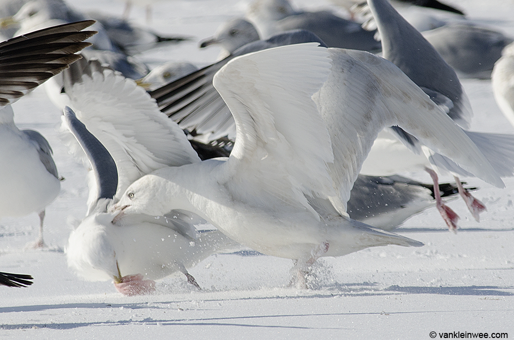 18 February 2014, Lake County Fairground, Libertyville, Illinois, USA. Fighting with an American Herring Gull over some meat.