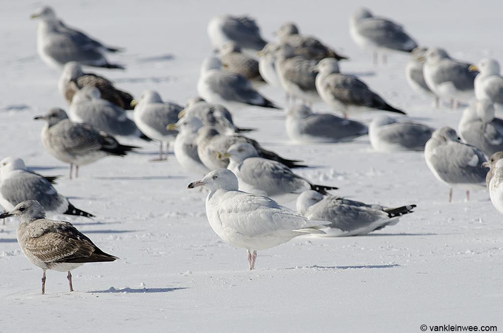 18 February 2014, Lake County Fairground, Libertyville, Illinois, USA. Between American Herring Gulls.