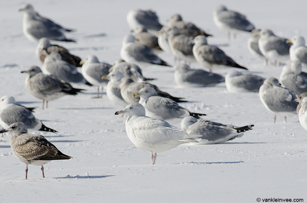 18 February 2014, Lake County Fairground, Libertyville, Illinois, USA. Between American Herring Gulls.