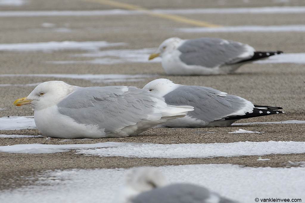 14 February 2014, Lake County Fairground, Libertyville, Illinois, USA. With adult American Herring Gull in the background.