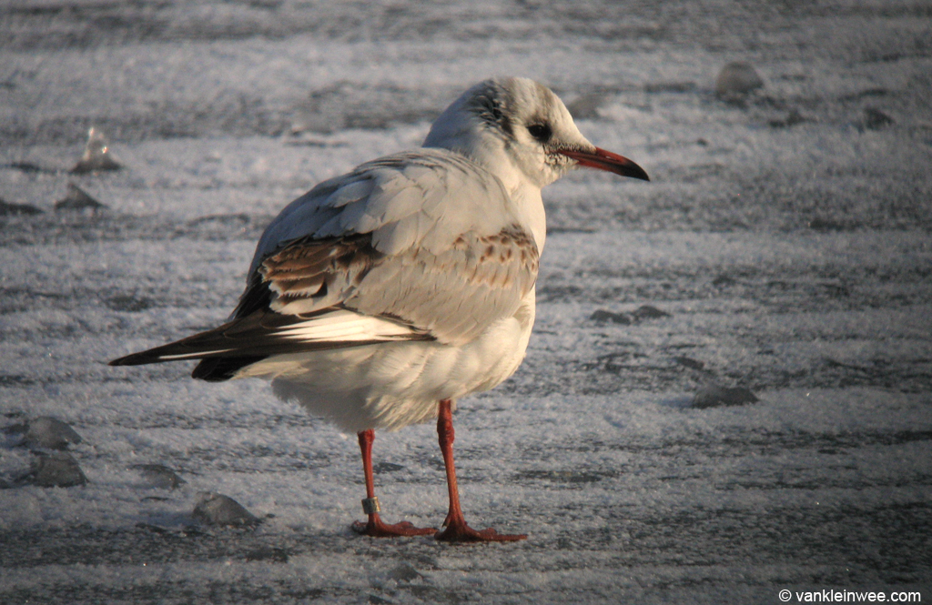 Second-calendar year Black-headed Gull, most probably also Latvia S7823. Leiden, The Netherlands, 7 January 2010.