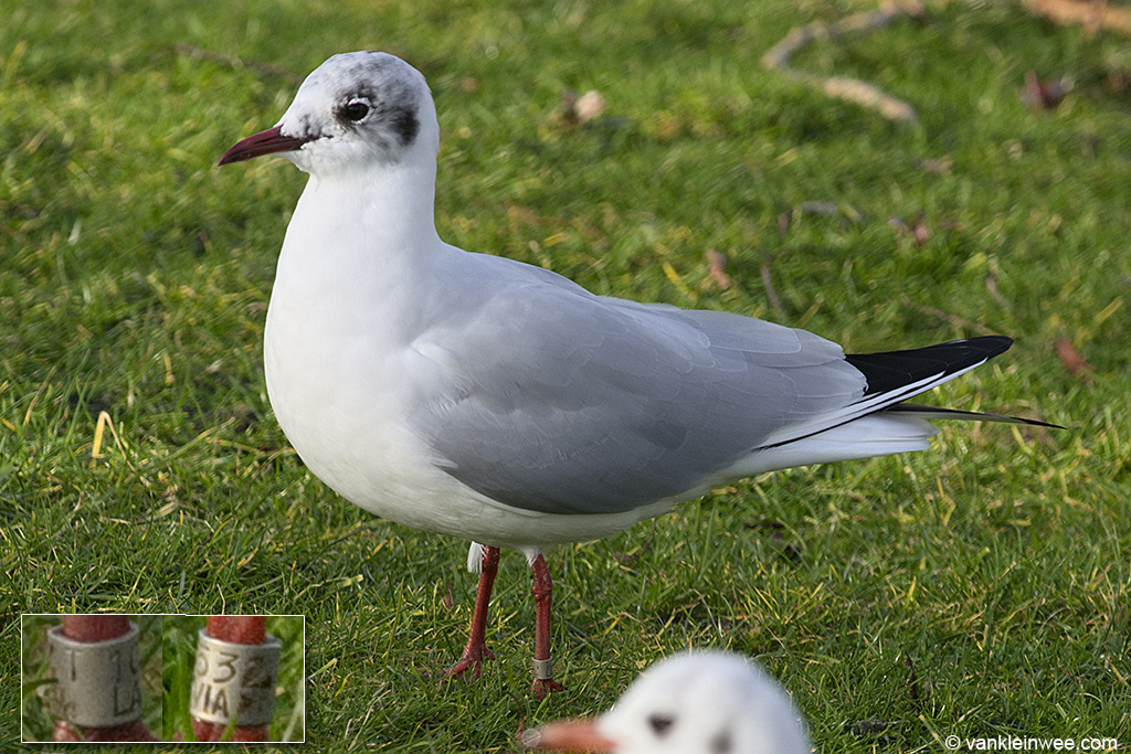 Adult Black-headed Gull ringed in Latvia. Leiden, The Netherlands, 11 February 2014.