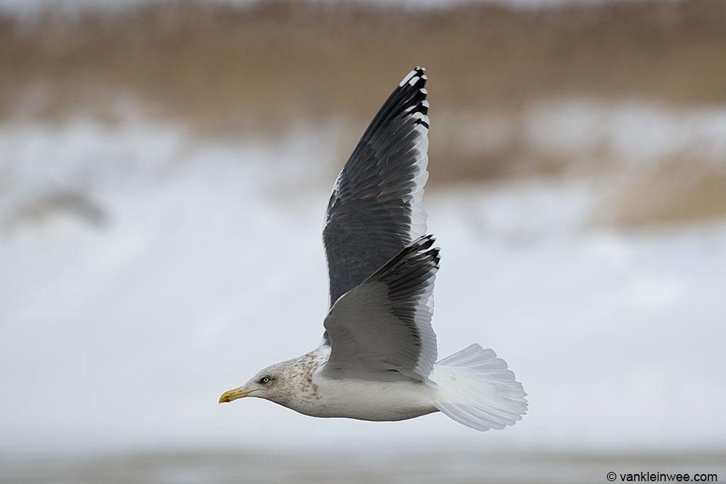 Adult Slaty-backed Gull.