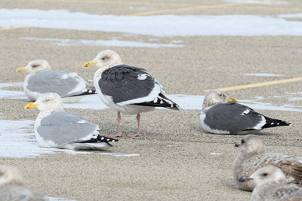 From left to right: Thayers Gull, American Herring Gull, Slaty-backed Gull, and Lesser Black-backed Gull. At the bottom of the photo 3 first-winter Herring Gulls.
