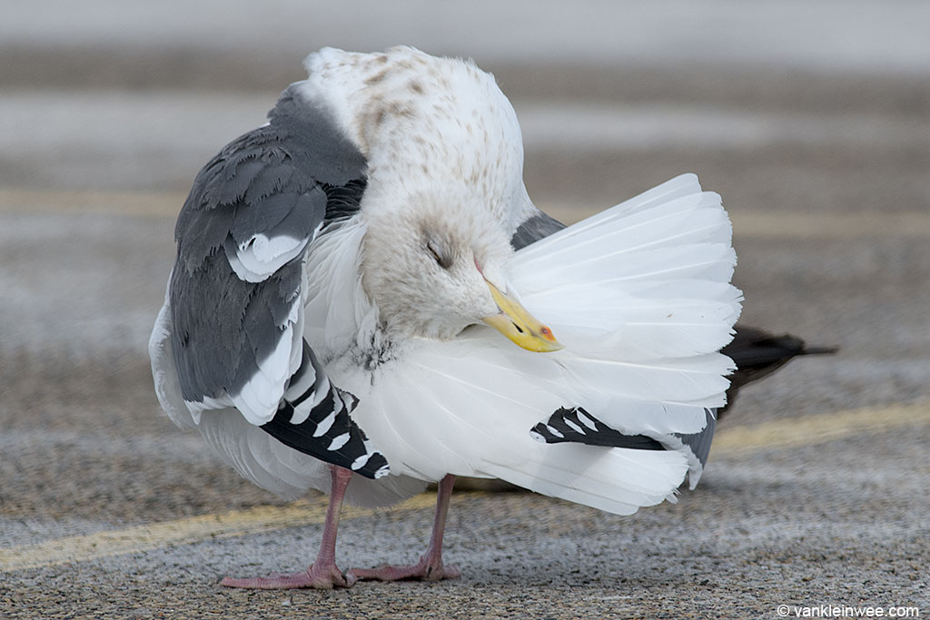 Preening its feathers.
