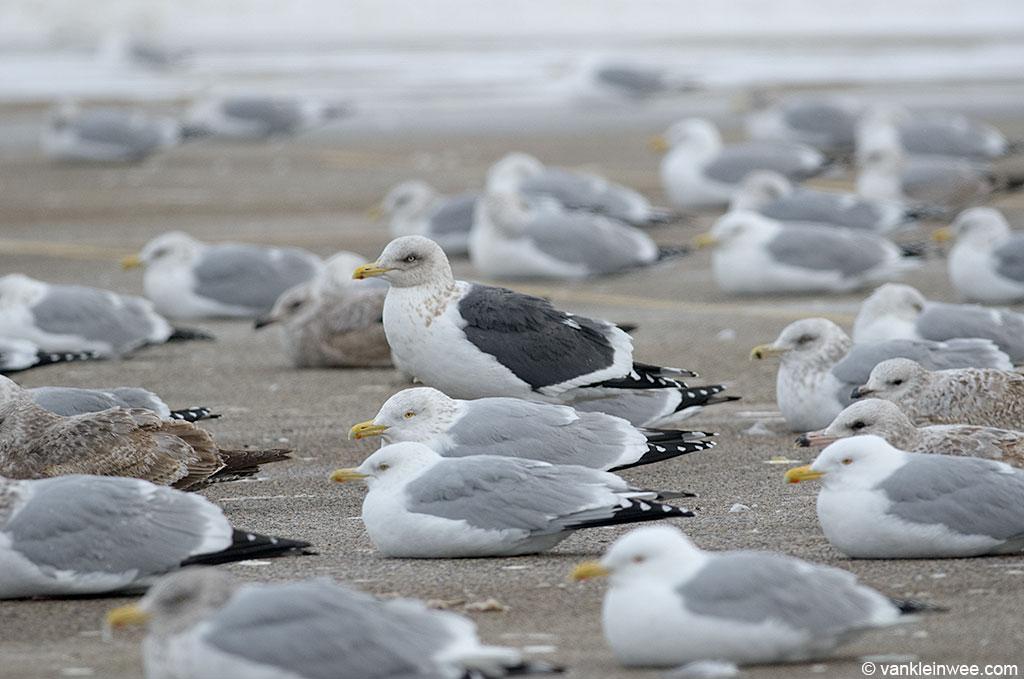 Adult Slaty-backed Gull among adult American Herring Gulls.