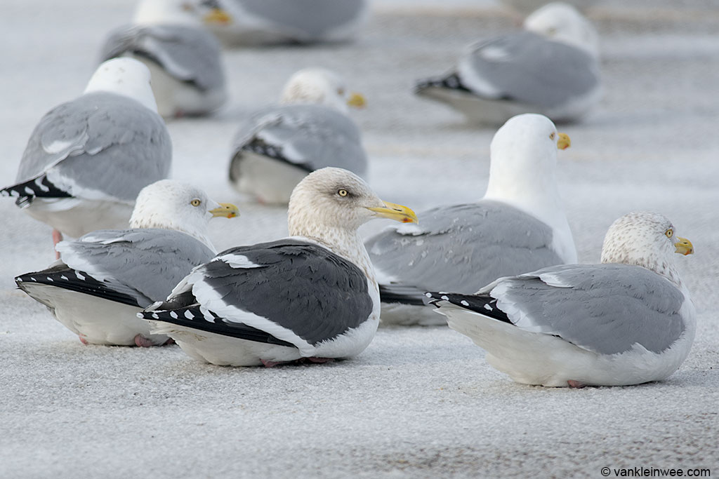 Adult Slaty-backed Gull among adult American Herring Gulls.