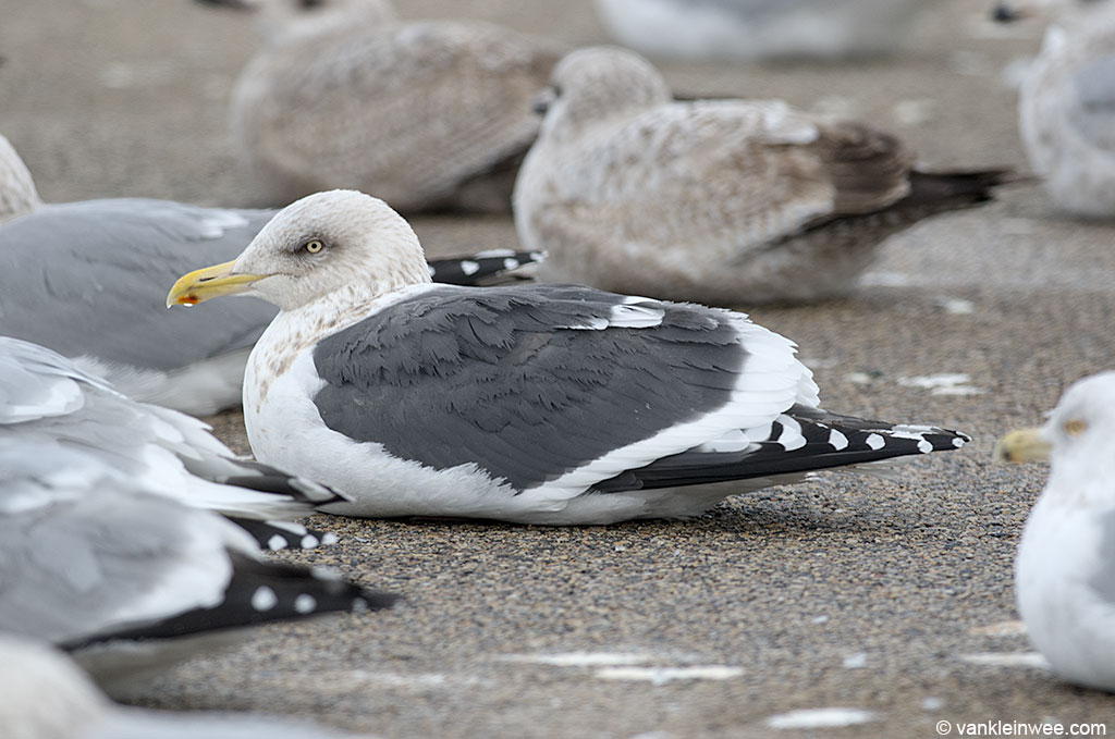 One of the key identification features of an adult Slaty-backed Gull is its white 'skirt', created by the broad tips of the secondaries that protrude from underneath the greater coverts when in rest.