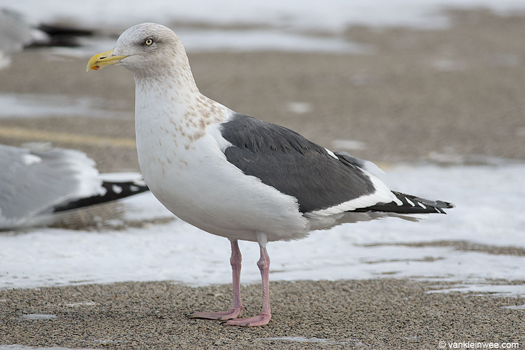 Adult Slaty-backed Gull in basic (non-breeding) plumage. Note the streaking on the head and neck. A small black mark can be seen on the orange/red gonys spot.