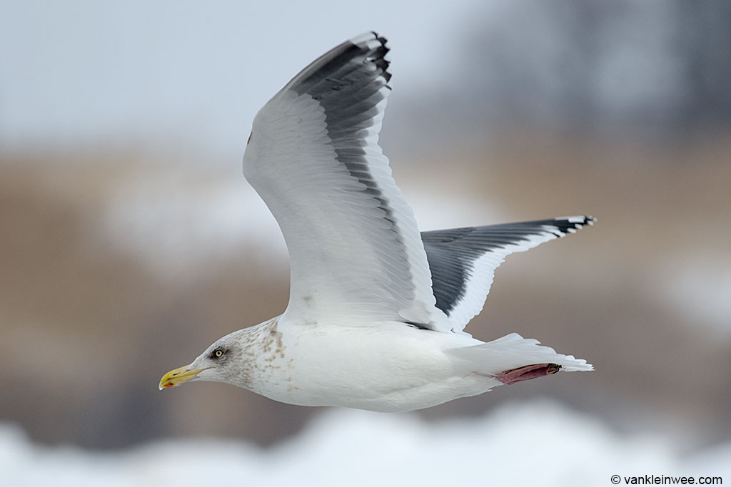 Adult Slaty-backed Gull.