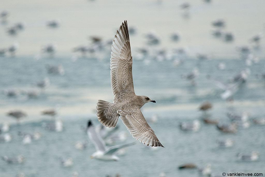 15 February 2014, North Point Marina, Winthrop Harbor, Illinois, USA. Second-calendar year Thayers Gull.