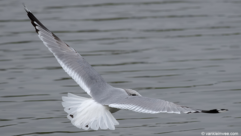 Second-cycle Common Gull with rare black markings in the tail.