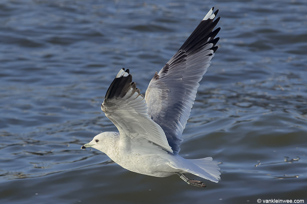 Second-cycle Common Gull showing no markings in the tail, secondaries or underwing. Both P9 and P10 have a mirror.
